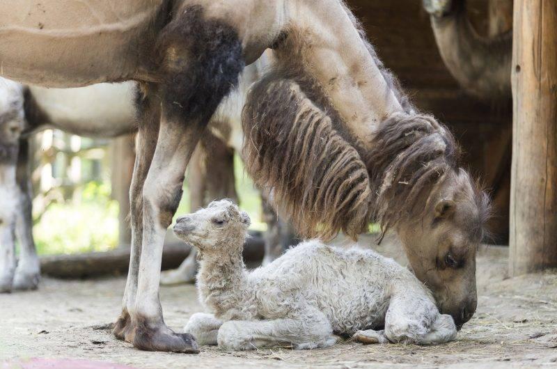 Nyíregyháza, 2017. június 28. Újszülött kétpúpú tevekanca (Camelus bactrianus) anyjával a Nyíregyházi Állatparkban 2017. június 28-án. Az ország legnépesebb, tizenhat tagot számláló tevecsapatának legfiatalabb tagja 15 kilogrammal és fehér bundával született. MTI Fotó: Balázs Attila