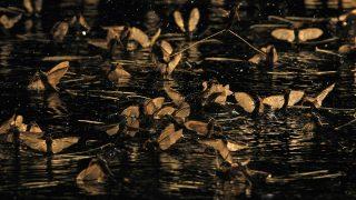 Nagykörű, 2015. június 19. Kérészek (Palingenia longicauda) a Tiszán Nagykörű közelében 2015. június 18-án. A folyó középső szakaszán elkezdődött a világon egyedül a Tiszán és mellékfolyóin előforduló kérészfaj, a tiszavirág nászrepülése.MTI Fotó: Bugány János