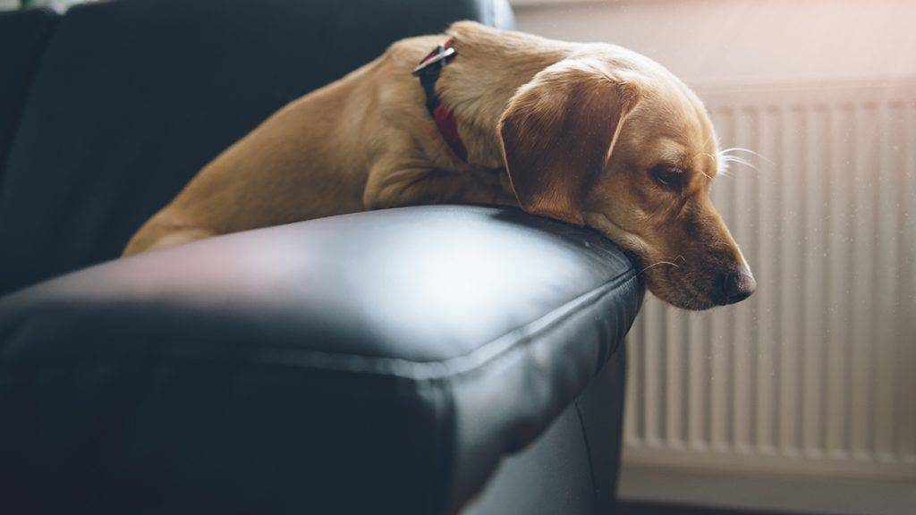Small yellow dog sitting on black sofa