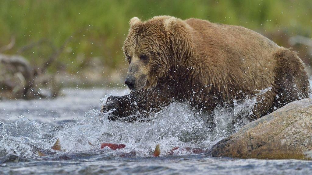 Grizzly (Ursus arctos horribilis) pursuing salmons, junction of Moraine Creek and Funnel Creek, Katmai National Park, Alaska.    Biosphoto / Patrick Kientz