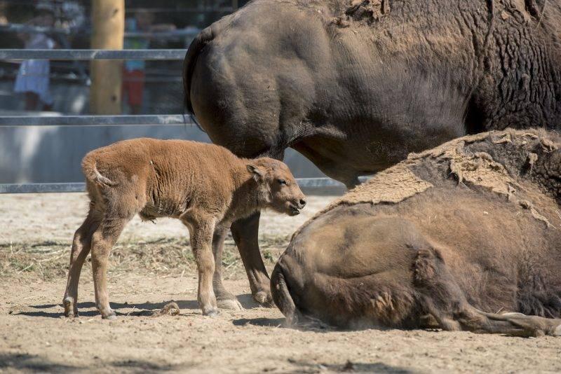 Pécs, 2017. július 20. Amerikai bölényborjú (Bison bison) a pécsi állatkerben 2017. július 20-án. Aranka és Brutus negyedik borja július 15-én született. MTI Fotó: Sóki Tamás