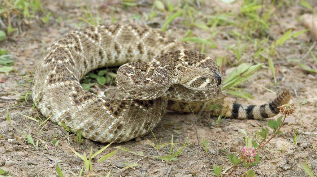 Western diamondback rattlesnake tasting the air with his tongue
