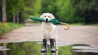 golden retriever dog in rainy weather