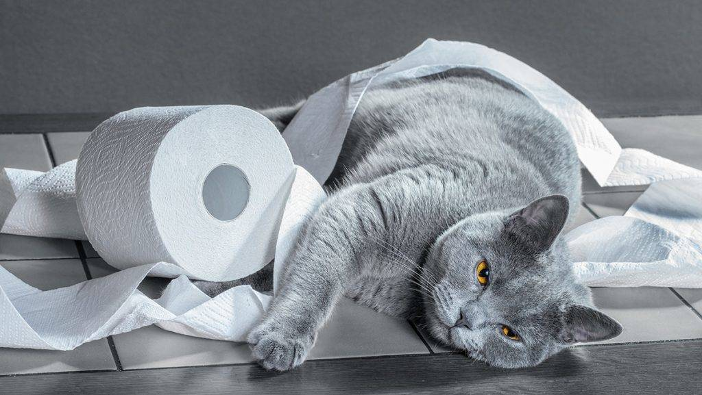 British Blue cat and toilet paper.