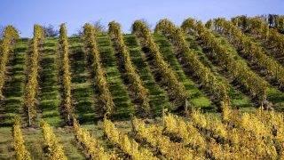 VIGNE,CHASSELAS, RAISIN,DE TABLE, MOISSAC , BOUDOU,  LOMAGNE, GASCOGNE, VALLEE GARONNE, TARN  ET GARONNE, MIDI PYRENEES, FRANCE - Vignoble , raisin de table , chasselas de Moissac et  filet de protection contre la grele. - Boudou - 82 - Tarn et Garonne - [pas d'autorisation necessaire]