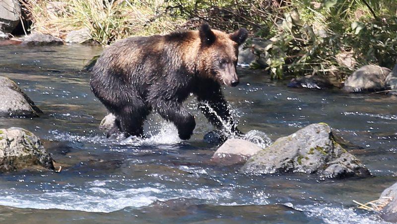 A brown bear aims at capturing  pink salmon swimming  upstream to spawn in the river in Rausu, Shiretoko Peninsula, a World Heritage site,  Hokkaido on Sept. 14, 2016.  ( The Yomiuri Shimbun )