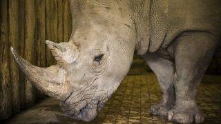 Nyíregyháza, 2011. július 8. A vizsgálaton átesett Athos, a kilenc éves szélesszájú orrszarvú (Ceratotherium simum) a Nyíregyházi Állatparkban. Athos a bal lábát fájlalta, ezért a Nyíregyházi Állatpark állatorvosai gyors diagnosztikai vizsgálatot végeztek rajta. Hõkamerával és röntgenfelvételekkel megállapították, hogy a csontízületben nincs elváltozás, de a lágy szövetekben idült gyulladást találtak. Ezt antibiotikumokkal fogják kezelni. MTI Fotó: Balázs Attila