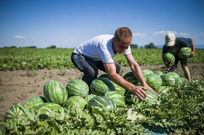 Csány, 2017. július 17.Munkások dinnyét pakolnak Csány közelében 2017. július 17-én. A magyarországi görögdinnye termés az előrejelzések szerint az idén mintegy 200 ezer tonna lesz, sárgadinnyéből 18 ezer tonna várható. A magyar fogyasztás évente és fejenként 13-15 kilogramm, exportra 80 ezer tonna jut, főként a német, a lengyel, a cseh piacra, és a balti országokba.MTI Fotó: Komka Péter