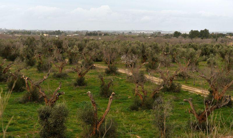 "A picture shows olive trees infected by the bacteria ""Xylella Fastidiosa"" on February 11, 2016 in Gallipoli near Lecce in the Puglia region.                       / AFP PHOTO / TIZIANA FABI"
