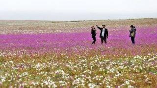 Atacama-sivatag, 2017. augusztus 23.Turisták a virágba borult Atacama-sivatagban, Chilében 2017. augusztus 22-én. A Föld egyik legszárazabb területén, ahol van, hogy évekig egy csepp eső nem esik, a téli hónapokban esett csapadékmennyiségnek köszönhetően színes virágok borították be az egész sivatagot. (MTI/EPA/Mario Ruiz)