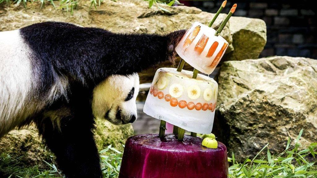 Rhenen, 2017. augusztus 8. Hszing Ja, a hím óriáspanda a negyedik születésnapjára kapott jégtortát vizsgálgatja az Ouwehand Állatkertben, a hollandiai Rhenenben 2017. augusztus 8-án. Hszing Ját annak nõstény párjával, Vu Vennnel együtt tizenöt évre kapta kölcsön az állatkert a kínai Szecsuan tartományból.(MTI/EPA/Remko De Waal)