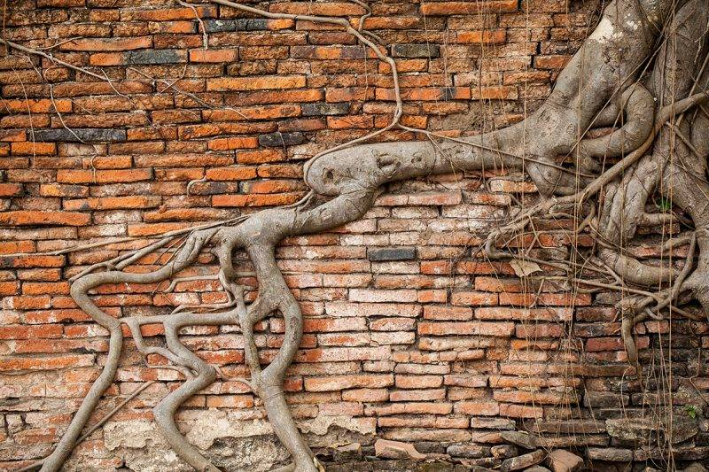 Root covered brick wall