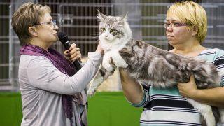 Eger, 2017. szeptember 24.Brigitta Redford német bíró Maine Coon macskát zsűriz a HungaroCat egyesület nemzetközi macskakiállításán Egerben 2017. szeptember 24-én.MTI Fotó: Komka Péter
