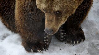 Budapest, 2017. február 2.A Fővárosi Állat- és Növénykert Tibor nevű kamcsatkai barnamedvéje 2017. február 2-án. A néphiedelem szerint, ha a medve ezen a napon kijön a barlangjából és nem látja az árnyékát, akkor nem lesz hosszú a tél.MTI Fotó: Kovács Attila