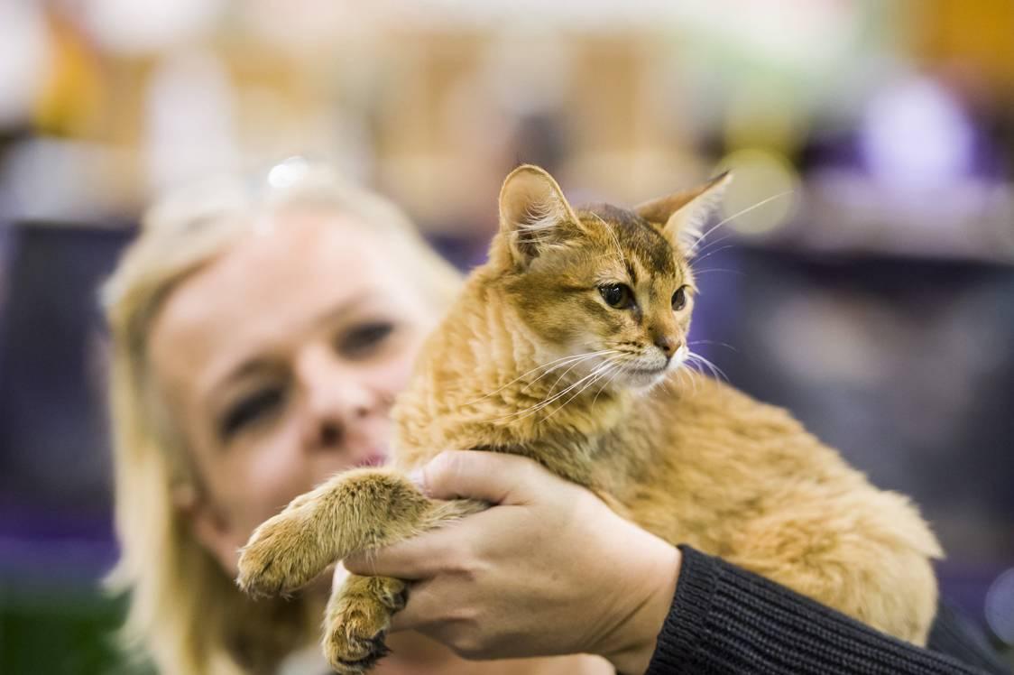 Eger, 2017. szeptember 24.Szomáli macska a HungaroCat egyesület nemzetközi macskakiállításán Egerben 2017. szeptember 24-én.MTI Fotó: Komka Péter