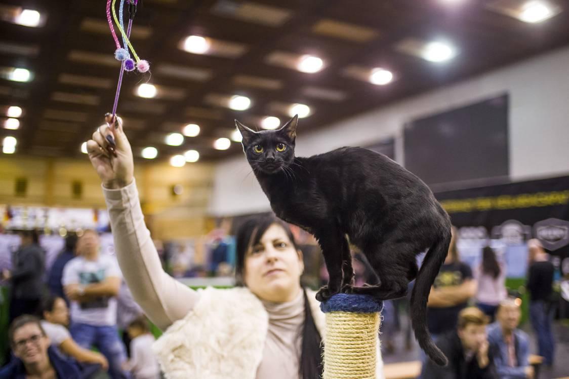 Eger, 2017. szeptember 24.Fekete bengáli macska a HungaroCat egyesület nemzetközi macskakiállításán Egerben 2017. szeptember 24-én.MTI Fotó: Komka Péter
