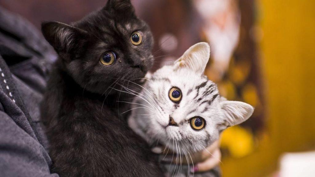 Eger, 2017. szeptember 24.Brit macskák a HungaroCat egyesület nemzetközi macskakiállításán Egerben 2017. szeptember 24-én.MTI Fotó: Komka Péter