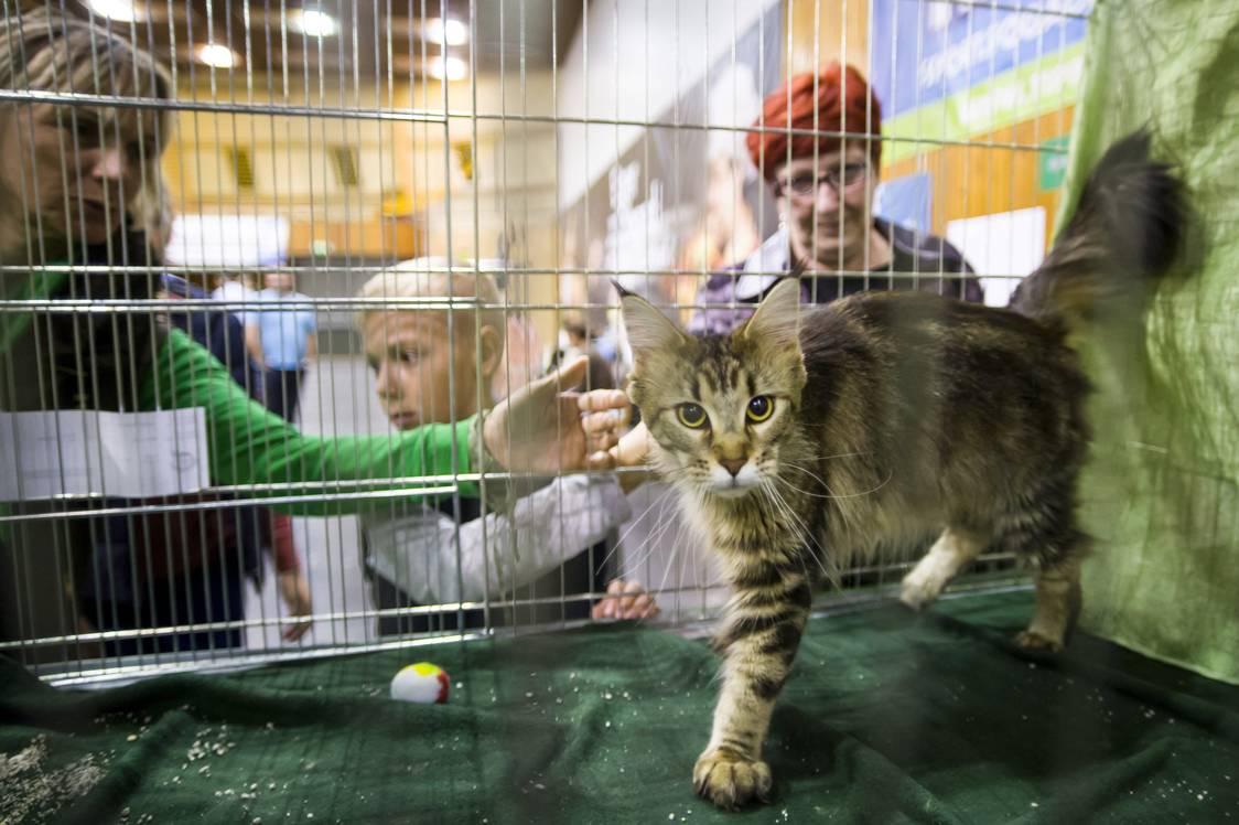 Eger, 2017. szeptember 24.Maine Coon macska a HungaroCat egyesület nemzetközi macskakiállításán Egerben 2017. szeptember 24-én.MTI Fotó: Komka Péter