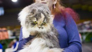 Eger, 2017. szeptember 24.Highland állófülű macska a HungaroCat egyesület nemzetközi macskakiállításán Egerben 2017. szeptember 24-én.MTI Fotó: Komka Péter