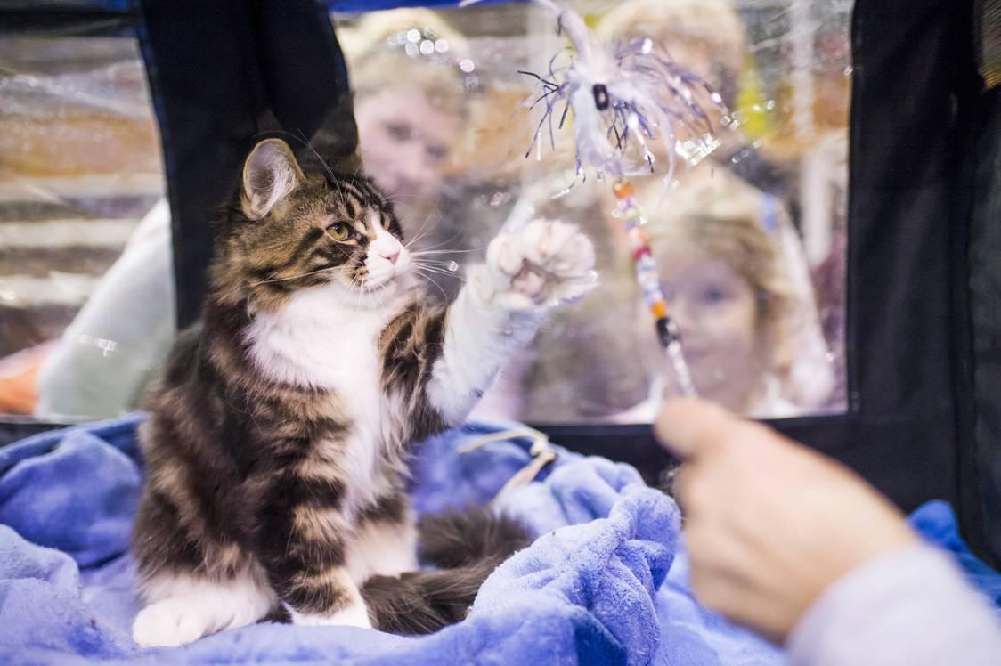 Eger, 2017. szeptember 24.Maine Coon macska játszik a HungaroCat egyesület nemzetközi macskakiállításán Egerben 2017. szeptember 24-én.MTI Fotó: Komka Péter