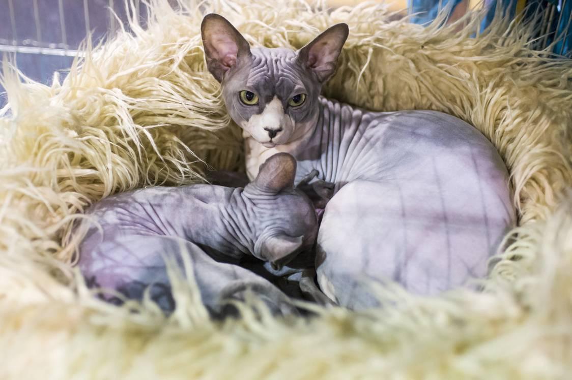 Eger, 2017. szeptember 24.Sphynx macskák a HungaroCat egyesület nemzetközi macskakiállításán Egerben 2017. szeptember 24-én.MTI Fotó: Komka Péter