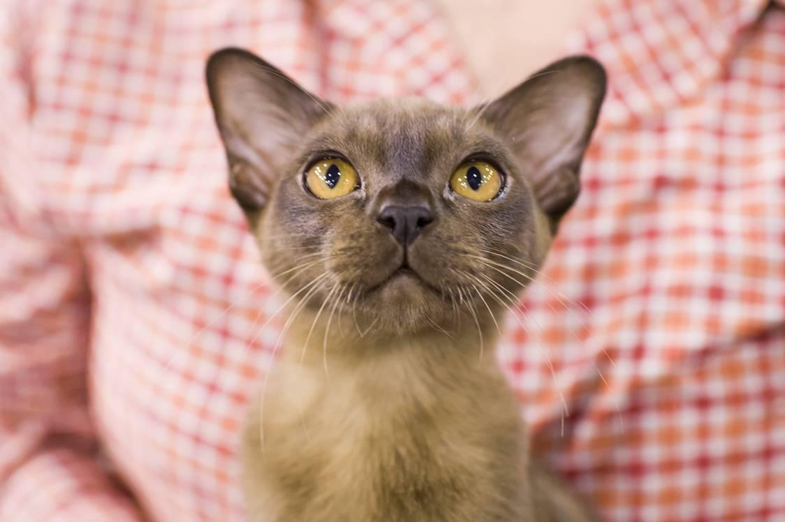 Eger, 2017. szeptember 24.Burma macska a HungaroCat egyesület nemzetközi macskakiállításán Egerben 2017. szeptember 24-én.MTI Fotó: Komka Péter