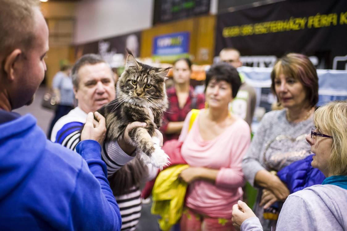 Eger, 2017. szeptember 24.Látogató Maine Coon macskát simogat a HungaroCat egyesület nemzetközi macskakiállításán Egerben 2017. szeptember 24-én.MTI Fotó: Komka Péter
