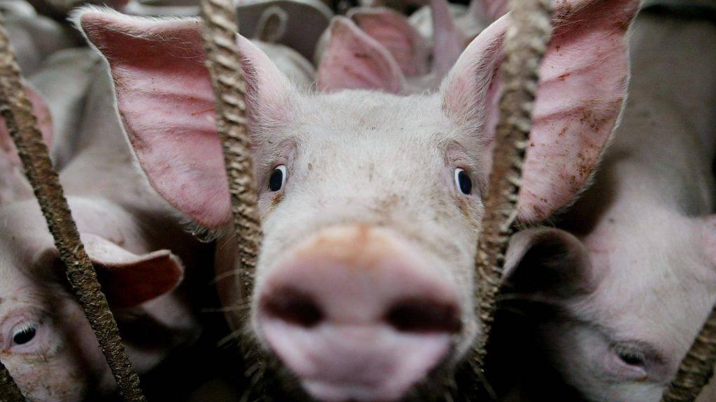 A francia Regis SINDT schwerdorffi gazdaságának sertései 2002. május 3-án. Sindt 500 disznót tart a kelet-franciaországi Chemery-les-Deux-tõl mintegy 10 km-re fekvõ hízlaldájában, ahol április végén a klasszikus sertéspestis vírusára bukkantak. A cseh kormány május 3-án elrendelte, hogy a fertõzés miatt csak hõkezelt sertéshúst szabad importálni Franciaországból. A sertéspestis erõsen fertõzõ az állatállományra, de kórokozója az emberre nem veszélyes. (MTI/EPA/AFP/Pierre Andrieu)