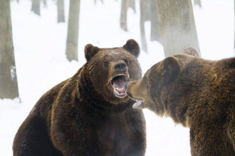 Nyíregyháza, 2010. február 2. Lolka és Bolka, a két nyolcéves barnamedve játszik a Nyíregyházi Állatparkban. A néphagyomány szerint a medvék gyertyaszentelõ Boldogasszony napján, azaz február 2-án merészkednek elõ barlangjukból, és az ekkor tapasztalt idõjárás alapján döntenek arról, hogy folytassák-e a téli nyugalmi periódust, vagy készülõdjenek a tavasz beköszöntére. A népi megfigyelések szerint, ha ezen a napon kisüt a nap, és a medve meglátja az árnyékát, visszamegy barlangjába, és még negyven napig tart a tél. MTI Fotó: Balázs Attila