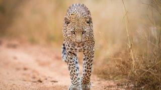 A Leopard walking towards the camera in the Kruger National Park, South Africa.