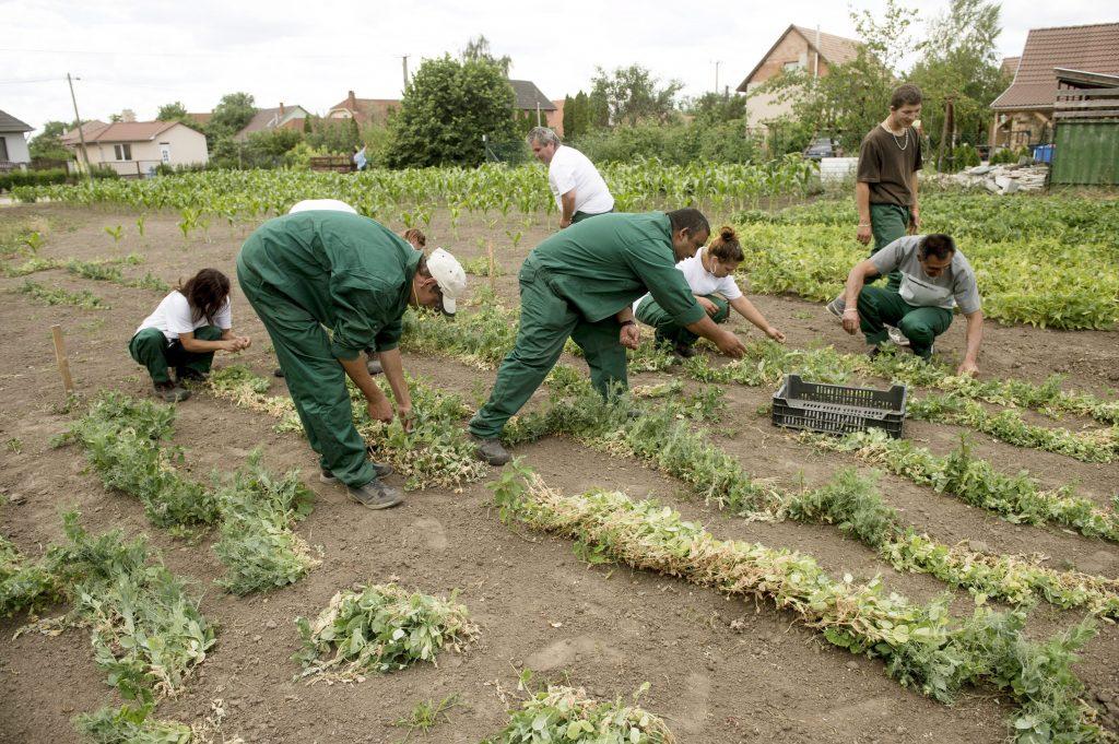 Nyáregyháza, 2015. június 22. Közmunkások borsót szednek Nyáregyházán 2015. június 22-én. A Pest megyei település munkanélkülijei a Váci egyházmegye vidékfejlesztési programjában vesznek részt, amely tizenkét közmunkással és napi húsz-huszonöt önkéntessel mûködik a helyi plébánián. A héthektárnyi termõföldön közel ötven jószággal megtermelt élelmiszert ruhaadományokra cserélik és a falu rászorulói között szétosztják. MTI Fotó: Koszticsák Szilárd