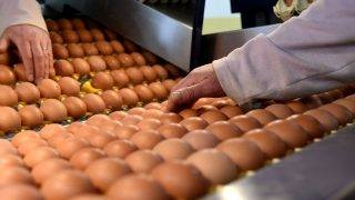 Budapest, 2017. január 12. Szakember dolgozik a Családi Tojás Kft. XVIII. kerületi üzemében 2017. január 12-én. A Magyar Idõk napilap közlése szerint a madárinfluenza miatt elrendelt kényszervágások következtében csökkent a tojóállomány, emiatt emelkedhet a tojás ára. Mivel a madárinfluenza nemcsak Magyarországot, hanem a legtöbb európai uniós országot is érinti, ezért a hiányzó mennyiséget importból is nehezebb pótolni, így idõszakosan tojáshiány is kialakulhat. MTI Fotó: Bruzák Noémi