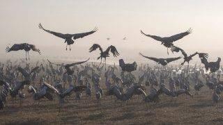 Hula-völgy, 2016. december 10.Afrikába tartó szürke darvak az észak-izraeli Hula-völgyben, az Agmon-tónál lévő természetvédelmi területen 2016. december 10-én. (MTI/EPA/Atef Szafadi)