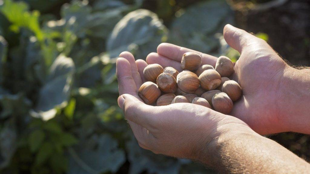 Hazelnuts holded in hands on farm.