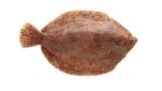 plaice fish isolated on white background