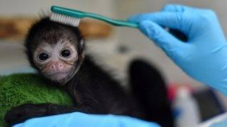 Cali, 2017. október 20. Huszonöt napos nõstény pókmajmot (Atelidae) gondoznak a nyugat-kolumbiai Cali város állatkertjének klinikáján 2017. október 19-én, miután a kölyök magasról kiesett az anyja ölébõl, és megsérült az egyik lába. (MTI/EPA/Ernesto Guzman Jr)