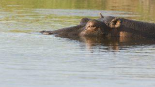 Hippopotamus (Hippopotamus amphibius) partly submerged in water