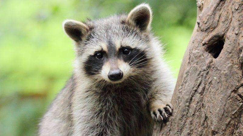 Little Raccoon on tree
