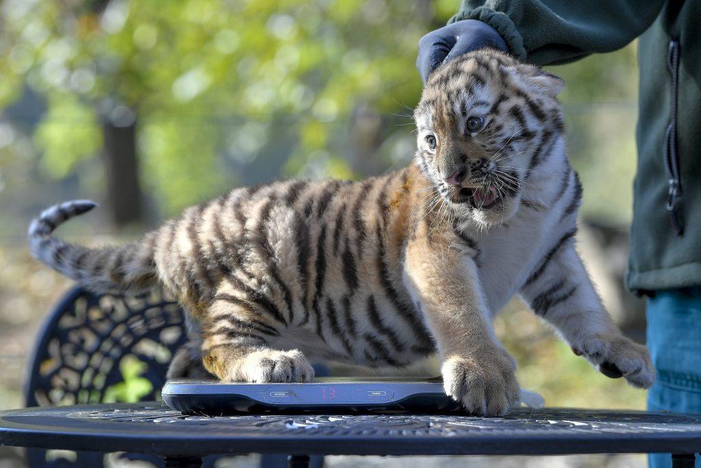Debrecen, 2017. október 10. A Debreceni Állat- és Növénykert augusztus végén született két szibériaitigris-kölykének (Panthera tigris altaica) egyikét mérlegelik a bemutatón 2017. október 10-én. MTI Fotó: Czeglédi Zsolt