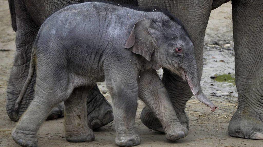 Budapest, 2017. november 9.A Fővárosi Állat- és Növénykertben 2017. november 8-án született ázsiai elefánt-bikaborjú (Elephas maximus) anyjával, a 16 éves Angelével november 9-én.MTI Fotó: Kovács Attila