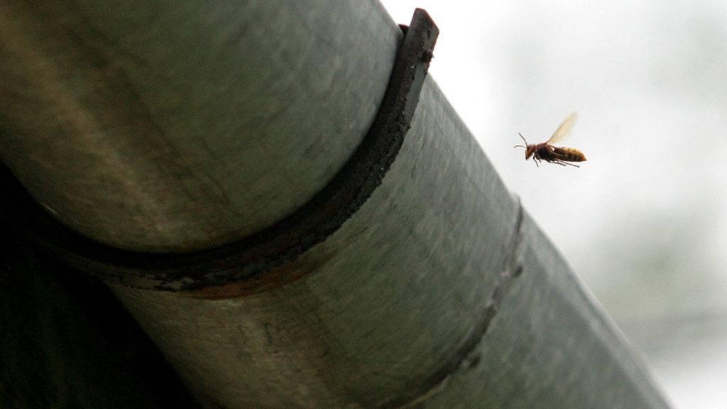 Galambok, 2008. július 31.Lódarázs az eresznél. A nagykanizsai tűzoltók irtják a darazsakat Galambokon egy családi háznál. A lakók jelentették, hogy olyan hangokat hallottak, mintha egér rágná a tetőt. Kiderült, hogy darazsak költöztek a tető alá. A tűzoltók több darázs- és lódarázsfészket találtak és pusztítottak el. Ebben az évben több halálos darázscsípés is történt az országban.MTI Fotó: Varga György