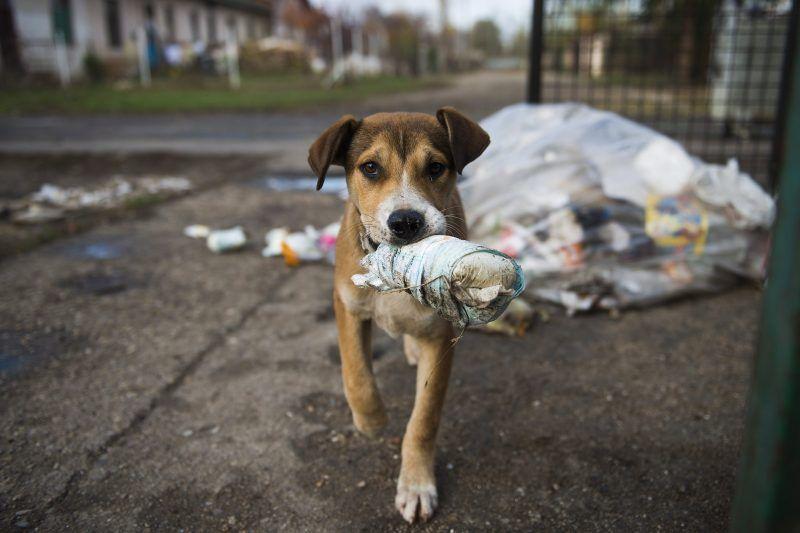 Nyíregyháza, 2012. november 13. Kidobott pelenkát visz szájában egy kóbor kutya a Huszár telep egyik szemétgyûjtõ helyén Nyíregyházán 2012. november 13-án. A város önkormányzata idén 22,7 millió forintot fordít a városüzemeltetés által mûködtetett Állategészségügyi Telep gyepmesteri tevékenységére. A telep munkatársai idén eddig 286 állatot gyûjtöttek össze. A kutyák 95 százalékát a PCAS nemzetközi állatvédelmi egyesület helyezi el új gazdáknál. A helyiek idén 20 kutyát fogadtak örökbe. MTI Fotó: Balázs Attila
