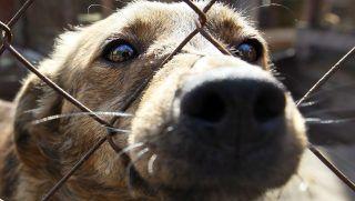 Tolokun, 2012. április 11.  Egy kutya néz ki a kennel drótkerítésén a Kijevtõl mintegy 80 km-re lévõ állatmenhelyen. Európa számos nagyvárosában állatvédõk tiltakoznak amiatt, hogy a 2012-es lengyel-ukrán közös rendezésû labdarúgó Európa-bajnokság mérkõzéseinek otthont adó négy ukrán városban befogják, megmérgezik és megsemmisítik a kóbor állatokat annak ellenére, hogy az ukrán környezetvédelmi minisztérium állatmenhelyek létesítésére szólította fel az érintett helyi hatóságokat. (MTI/EPA/Szerhíj Dolzsenko)