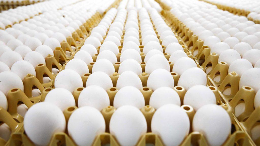 Doornenburg, 2017. július 28.Rekeszekben sorakozó friss tojások egy gazdaságban a hollandiai Doornenburgban 2017. július 28-án. A holland hatóságok felfüggesztették a tojáskereskedelmet, mert néhány gazdaságban Fipronil rovarirtószerrel védekeztek a vörös atkák ellen. (MTI/EPA/Vincent Jannink)