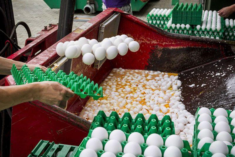 Onstwedde, 2017. augusztus 3.Friss tojásokat semmisítenek meg egy gazdaságban, a hollandiai Onstweddében 2017. augusztus 3-án. A holland élelmiszerbiztonsági hatóság, az NVWA felfüggesztette a tojáskereskedelmet és elrendelte a tojások megsemmisítését, mert egyes gazdaságokban Fipronil rovarirtószert használtak a vörös atkák ellen, és az egészségre káros mértékű Fipronilt találtak az élelmezésre szánt tojásokban. (MTI/EPA/Vincent Jannink)
