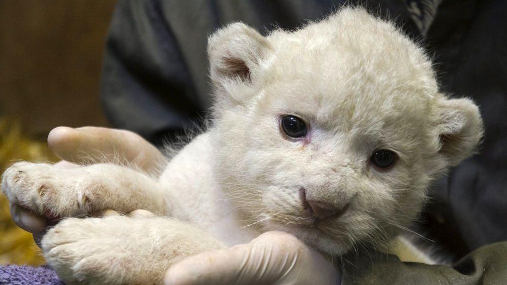 White South African lion (Panthera leo krugeri) cub