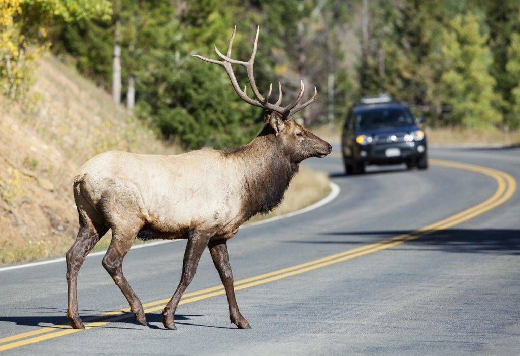 Every year, moose, elk and deer collisions are the cause of hundreds of thousands of car accidents along North American roads. Drivers must be extra careful during the fall time of the year, as animal activity is increased due to the rutting season.