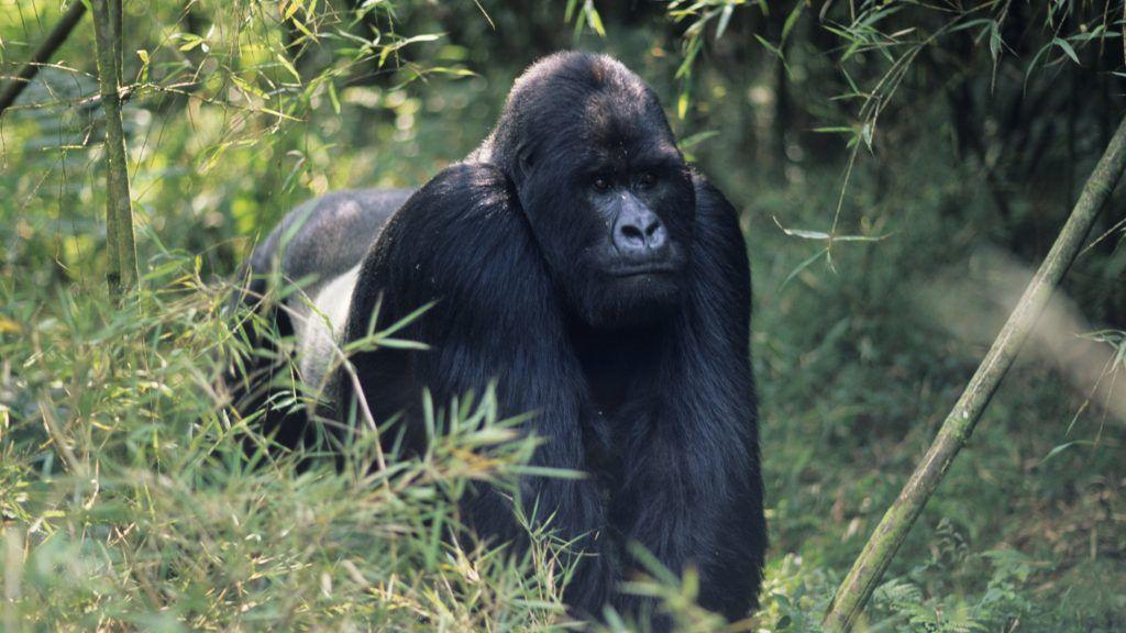 Mountain gorilla (Gorilla gorilla berengei) walking on all fours, Park du Volcanes, Rwanda