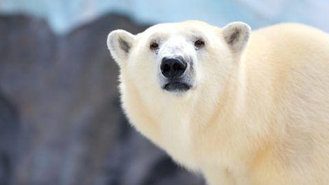This is polar bear.