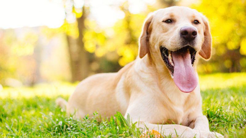 Beautiful labrador retriever dog in the park, sunny day